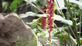 Tropical green plants with red flower in wet exotic jungles near waterfall, around wild nature forest at sunny summer. Tropical green plants with red long stock video