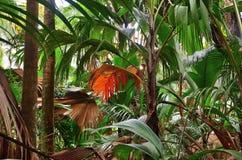 Jungle Valle de Mai on the Seychelles islands. A tropical green rainforest on the Seychelles island Praslin, Valle de Mai royalty free stock photo