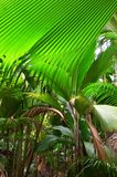 Jungle Valle de Mai on the Seychelles islands. A tropical green rainforest on the Seychelles island Praslin, Valle de Mai royalty free stock images