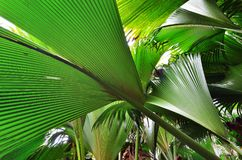Jungle Valle de Mai on the Seychelles islands. A tropical green rainforest on the Seychelles island Praslin, Valle de Mai royalty free stock photos