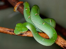 Tropical green snake on a tree branch Stock Image