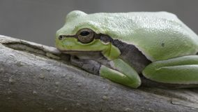 Tropical green tree frog on a fig branch in front of dark background. Side view point stock video footage