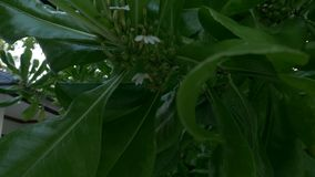 Tropical green tree. Plant. Tropical green tree . Plant close-up. 4k stock video footage