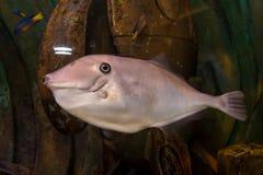 Tropical grey fish in the aquarium Royalty Free Stock Image