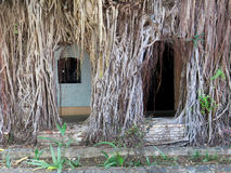 Tropical Growth Covering Buidling. Tropical roots and vines cover a wall and building Stock Photo