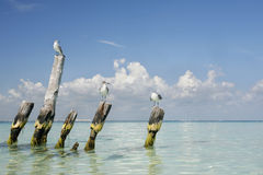 Tropical Gulls Royalty Free Stock Photo