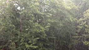 Tropical heavy rain with oak forest background. Include the original sound. Tropical heavy rain in oak rainforest background. Include the original sound stock footage