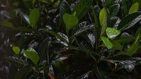 Tropical heavy rain in rainforest. Rainforest. Heavy rain during the rainy season in Asia stock footage