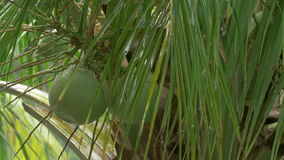 Rain. Heavy tropical rain is pouring down on a green, lush palm tree. Closeup of dripping wet coconuts stock footage