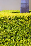 Tropical hedge. A cropped view of a neatly trimmed tropical hedge Stock Photography