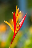 Tropical heliconia Royalty Free Stock Photography