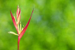 Tropical Heliconia Stock Images