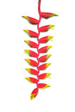 Tropical heliconia flower Stock Photo