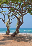 Tropical Heliotrope Trees with White Orchids on Beach Royalty Free Stock Image