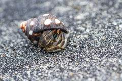 Tropical hermit crab Stock Photography