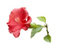 Tropical Hibiscus Stock Photography