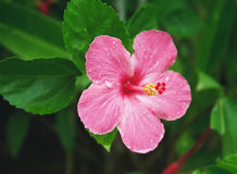 Tropical Hibiscus. In a garden, Maui, Hawaii Stock Photo