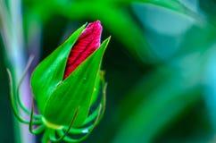Tropical hibiscus flower bud Stock Photo