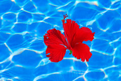 Tropical hibiscus flower in water Royalty Free Stock Image