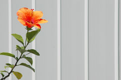 Tropical Hibiscus Flower on White Picket Fence Stock Photo