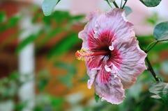 Tropical Hibiscus Tylene stock image