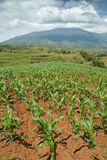 Tropical hilltop corn field stock photos