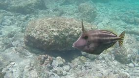 Tropical horned fish underwater. Divers paradise in Bonaire Antilles islands.  stock footage