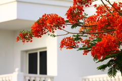 Red flowers of a fiery tree Stock Image