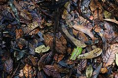 Tropical Humid Forest Leafy Floor. A layer of leaves littering the ground of ta humid forest Royalty Free Stock Images