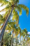 Tropical image with palm trees in the blue sunny sky Royalty Free Stock Image