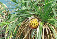 Tropical jackfruit Stock Photo