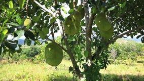 Tropical Jackfruit from Vietnam. Video shot of ripe Jackfruit in an orchard in Lam Dong area, Vietnam stock video footage