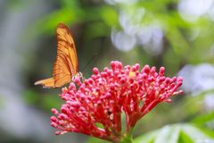 Tropical Julia butterfly Dryas iulia feeding and resting on flow Royalty Free Stock Image