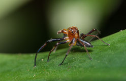 Tropical Jumping Spider Royalty Free Stock Photos