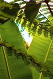 TROPICAL JUNGLE LEAVES ABSTRACT. Sun shining through a mix of banana leaves and fern plants create this unique abstract Royalty Free Stock Image
