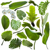 Tropical jungle leaves. Isolated on white background stock photography