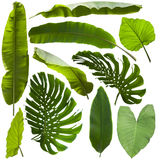 Tropical jungle leaves. Isolated on white background royalty free stock photo