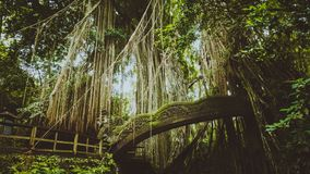 Tropical jungle roots hanging down over the bridge from the huge tree at the Sacred Monkey Forest Sanctuary, Ubud, Bali Royalty Free Stock Photo