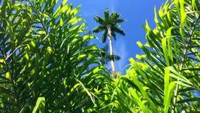 Tropical Jungle Scene Palm Trees Blue Sky. Tropical jungle scene of vibrant green palm fronds and tall palm tree under bright blue sunny sky stock video