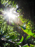 Tropical Jungle with Sunlight Breaking Through Canopy Royalty Free Stock Photos