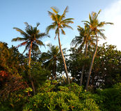 Tropical Jungle trees. Coconut Palm trees extend from a tropical forest Stock Photos