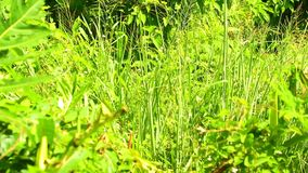 Tropical Jungle Undergrowth Vibrant Green Vegetation HD. Jungle undergrowth lush green tropical vegetation, panoramic panning up camera high definition stock stock footage