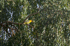 Tropical King Bird Stock Photography