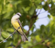 Tropical Kingbird on a Branch in the Yucatan, Mexico Royalty Free Stock Images