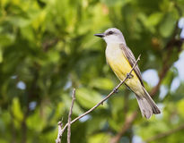 Tropical Kingbird on a Branch in the Yucatan, Mexico Stock Images