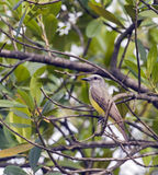 Tropical kingbird on the branches of leafy tree Royalty Free Stock Photo