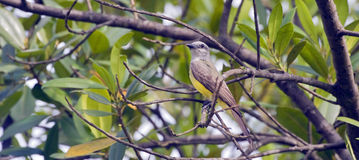 Tropical kingbird on the branches of leafy tree Stock Image