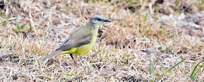 Tropical kingbird in dry grass hunting insects Stock Photography