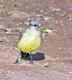 Tropical kingbird on the ground hunting insects Stock Photography