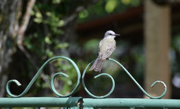 Tropical Kingbird Royalty Free Stock Images